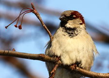 Free Sparrow Royalty Free Stock Photography - 39158097
