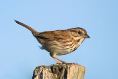 Sparrow 4 Stock Images