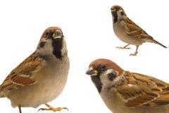 Sparrow,. Sparrow on a white background Stock Photos