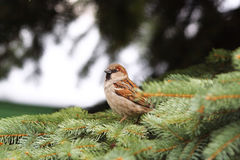 sparrow Fotografia Stock