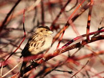 Free Sparrow Royalty Free Stock Photography - 50833667