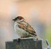 Sparrow. Royalty Free Stock Photos