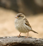 Sparrow. Royalty Free Stock Photo