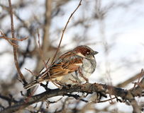 Free Sparrow Stock Photos - 66353243