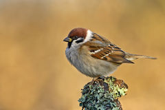 sparrow Royaltyfria Foton