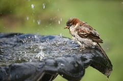 Sparrow. A Sparrow drinking water at fountain royalty free stock photography