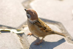 Sparrow. One sparrow research on feeding in park Royalty Free Stock Image