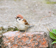 Sparrow. Close up of the funny sparrow Stock Images