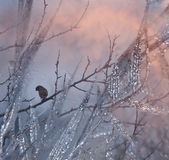 Sparrow. The small brownish-gray bird in winter sunset Royalty Free Stock Photos
