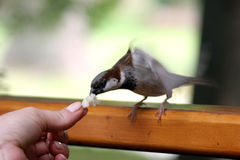 Free Sparrow Stock Photography - 979022