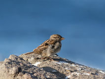 Sparrow against blue sea Royalty Free Stock Photography