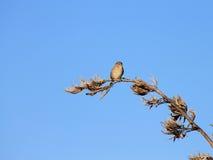 Sparrow against Blue Sky Royalty Free Stock Photo
