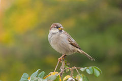 Sparrow against foliage. Sparrow on a bush branch in autumn park Royalty Free Stock Photo