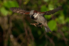 Sparrow in the air 1. House Sparrow Passer domesticus, frozen in the air Stock Image