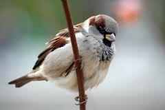Sparrow aka Passer Domesticus. October 2005, Yekaterinburg, Middle Urals, Russia Royalty Free Stock Photography