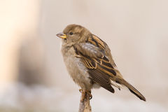 Sparrow (aka passer domesticus) Royalty Free Stock Photos