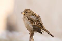 Sparrow (aka Passer Domesticus) Royalty Free Stock Photos