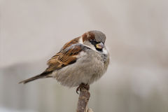 Sparrow (aka passer domesticus) on grey background Royalty Free Stock Photography
