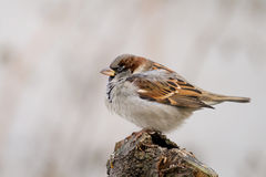 Sparrow (aka Passer Domesticus) On Grey Background Stock Images