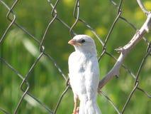 Sparrow-albino Royalty Free Stock Image