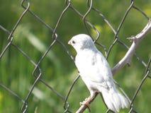 Sparrow-albino Stock Photos