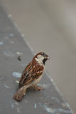 Sparrow on alert Royalty Free Stock Photo