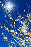 Sparrow, amazing sun and blooming plum by spring.