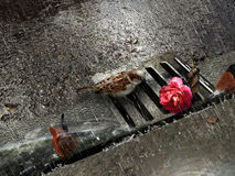Free Sparrow And Rose Under Rain Stock Images - 82947964
