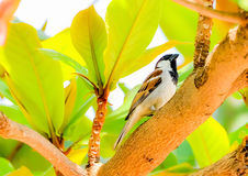 Sparrow. Is an animal who is always careful to make it easy to panic stock photography