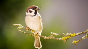 Sparrow in the Autumn Forest. He is sparrow on the tree royalty free stock photography
