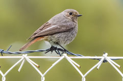 The sparrow on barbed wire Royalty Free Stock Images