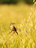 Sparrow in barley field Royalty Free Stock Images