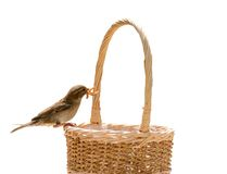 Sparrow on basket isolated Royalty Free Stock Images