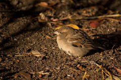 Sparrow basking in the sun.  Stock Images