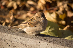 Sparrow basking in the sun.  Royalty Free Stock Image