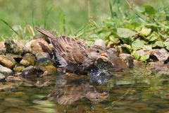 The sparrow is bath on a hot summer day in refreshing water stock images