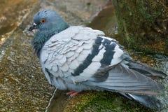 Sparrow bathes. Stock Photos
