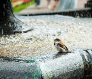 Sparrow bathes in fountain Stock Image