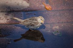 Sparrow bathes in a puddle on a hot day Royalty Free Stock Photo