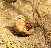 Sparrow bathes in the sand. And dust Royalty Free Stock Photos