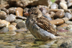 Sparrow bathes in water. Sparrow performs daily cleaning in water Stock Photos