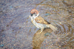 sparrow bathes in the water royalty free stock photo
