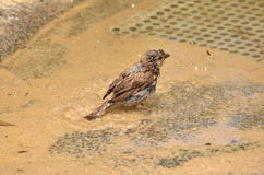 Sparrow Bathing Stock Image