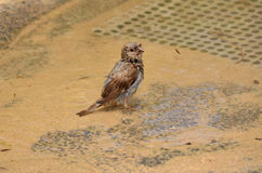 Sparrow Bathing Royalty Free Stock Image