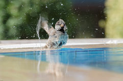 Sparrow Bathing Royalty Free Stock Photos