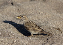 Sparrow beach Royalty Free Stock Photo