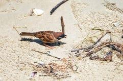 Sparrow on beach. One sparrow on the beach Royalty Free Stock Photography
