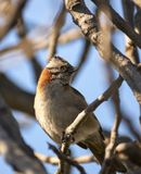 Sparrow. Beauty in nature Royalty Free Stock Photo