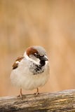 Sparrow begging for food. Male sparrow on a fenche Royalty Free Stock Photo