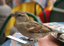 Sparrow Begs For Food. A sparrow on a cafe table after crumbs stock image
